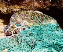 a sea turtle entangled in a fishing net.
