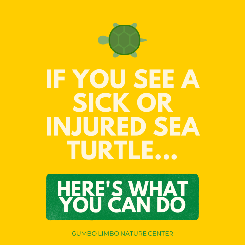 If you see a sick or injured sea turtle…here's what you can do. Gumbo Limbo Nature Center.