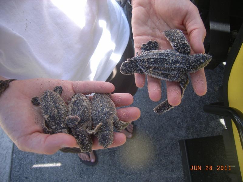 several sea turtle hatchlings held by staff member