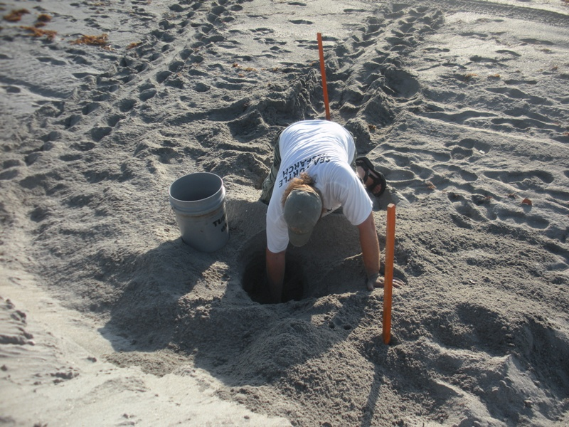 sea turtle specialists digging up a nest too close to the water