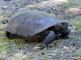 a gopher tortoise.