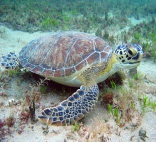 a green sea turtle on the ocean floor.