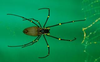 a golden silk spider