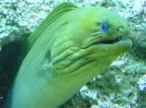 a green moray eel.