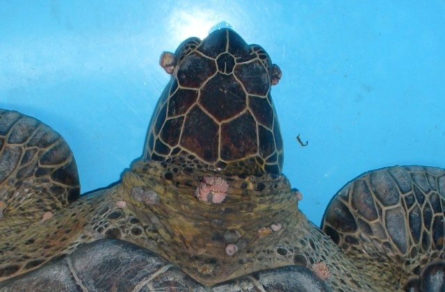 sea turtle with tumors on neck and eyes