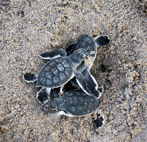 hatchling sea turtles on sand