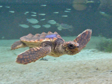 Juvenile loggerhead swimming.