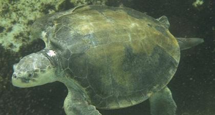 kemp's ridley sea turtle swimming