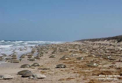 many kemp's ridley sea turtles nesting on beach