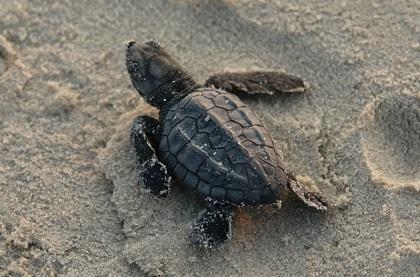 hatchling kemp's ridley sea turtle on sand
