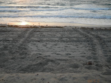 loggerhead sea turtle nest on beach