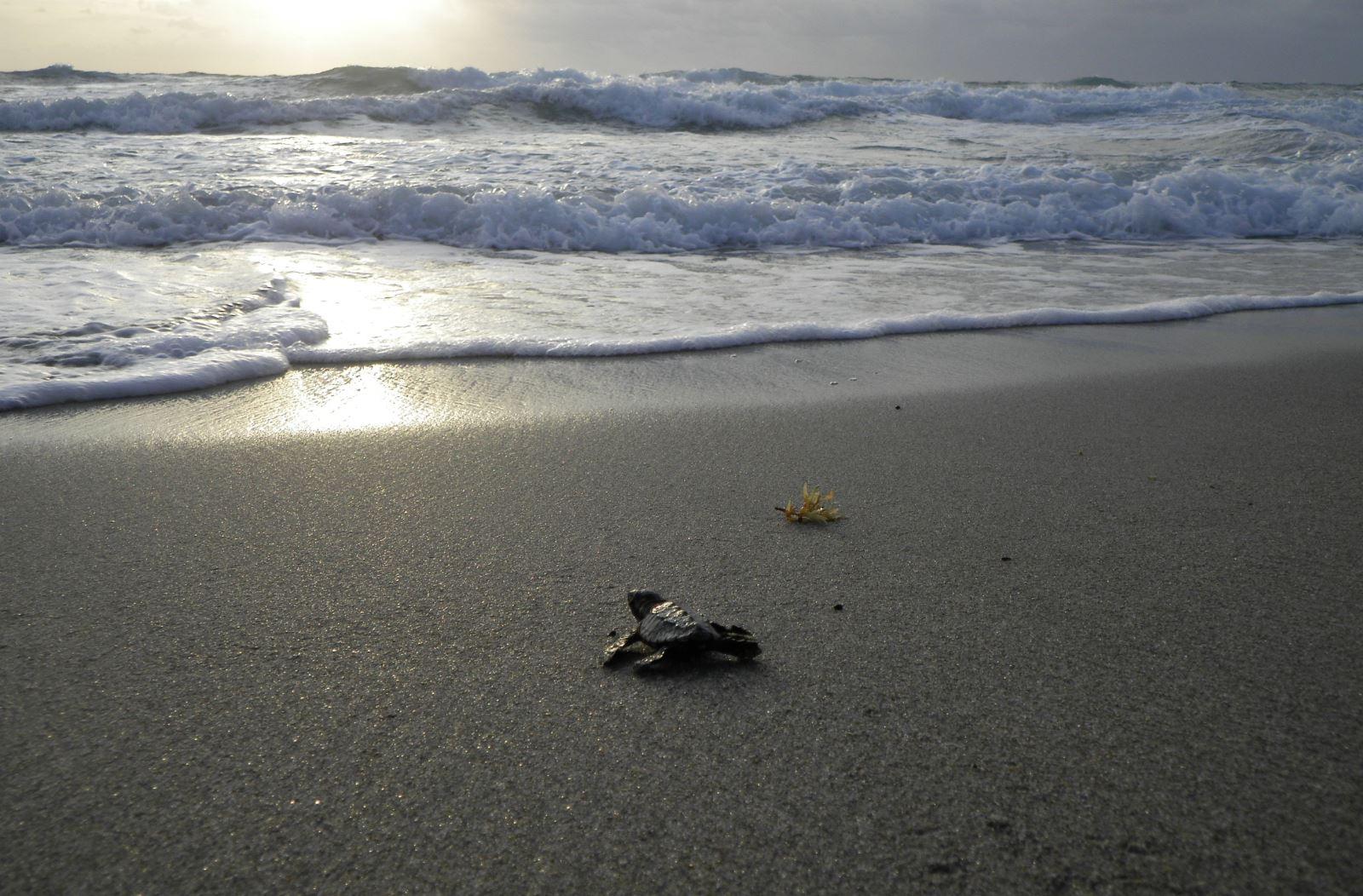 Loggerhead hatchling headed for the ocean
