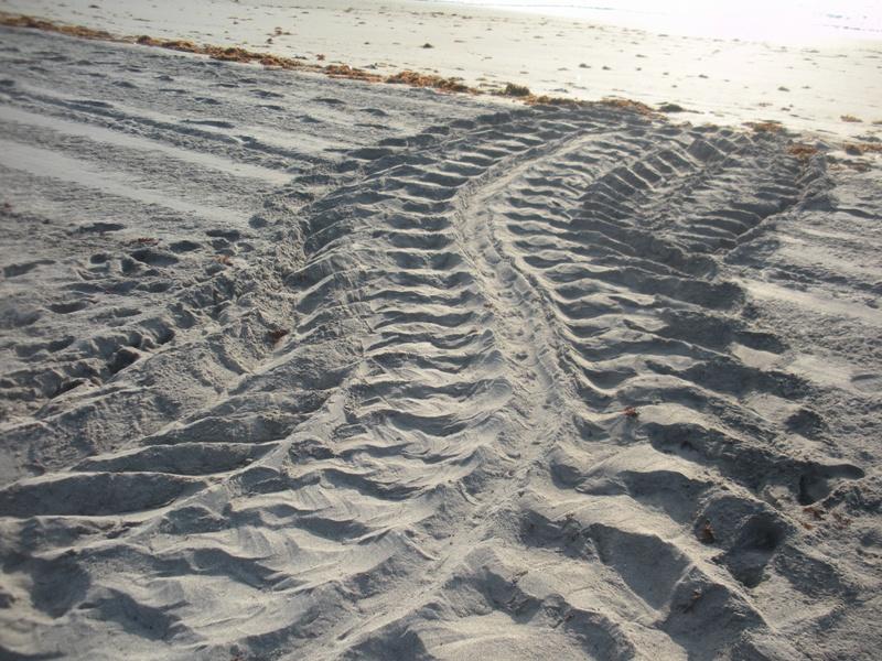 leatherback crawl on beach