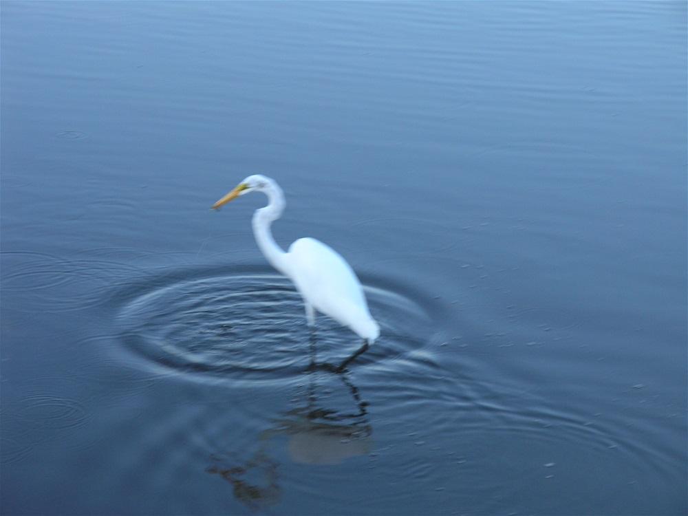 Great egret in pond