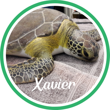 Open Xavier's sea turtle patient profile.