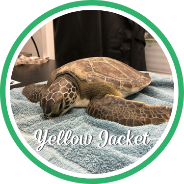 Open Yellow Jacket's sea turtle patient profile.