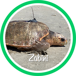 Open Zabini's sea turtle patient profile.