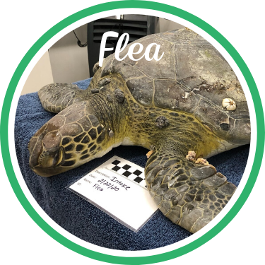 Open Flea's sea turtle patient profile.