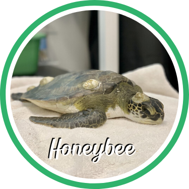 Open Honeybee's sea turtle patient profile.