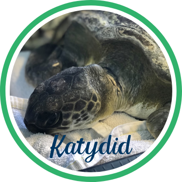 Open Katydid's sea turtle patient profile.