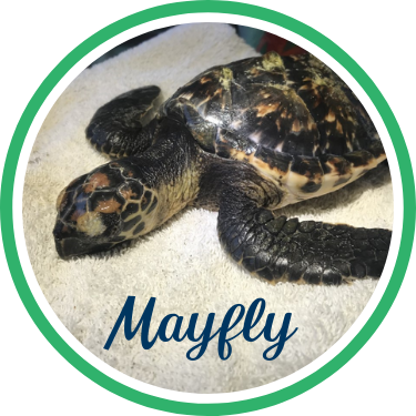 Open Mayfly's sea turtle patient profile.
