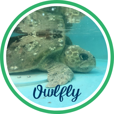Open Owlfly's sea turtle patient profile.