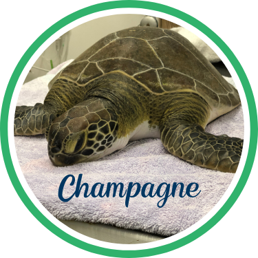 Open Champagne's sea turtle patient profile.