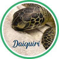 Open Daiquiri's sea turtle patient profile.