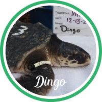 Open Dingo's sea turtle patient profile.