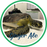 Open Ginger Ale's sea turtle patient profile.