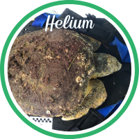 Open Helium's sea turtle patient profile.