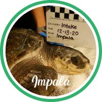 Open Impala's sea turtle patient profile.