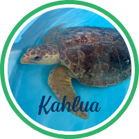 Open Kahlua's sea turtle patient profile.