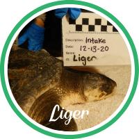 Open Liger's sea turtle patient profile.