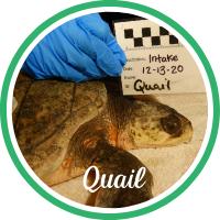 Open Quail's sea turtle patient profile.