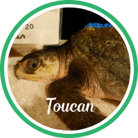 Open Toucan's sea turtle patient profile.
