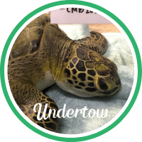 Open Undertow's sea turtle patient profile.