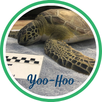 Open Yoo-Hoo's sea turtle patient profile.