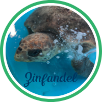 Close up of a loggerhead sea turtle laying in a treatment tank.