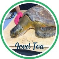 Open Iced Tea's sea turtle patient profile.