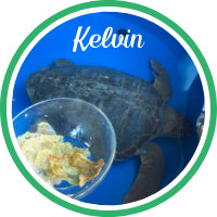 Close up of a loggerhead sea turtle laying in a treatment tank with plastic that the turtle passed in fecal.