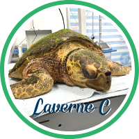Close up of a loggerhead sea turtle laying on a treatment table.