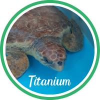 Close up of a loggerhead sea turtle in a rehabilitation tank.