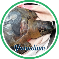 Sea turtle with cracks in shell and missing front flipper.