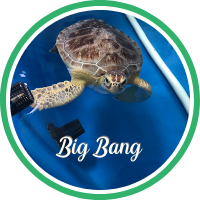 Open Big Bang's sea turtle patient profile.