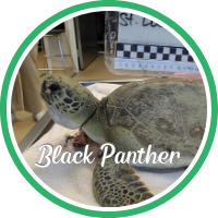 Open Black Panther's sea turtle patient profile.