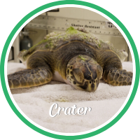 Open Crater's sea turtle patient profile.