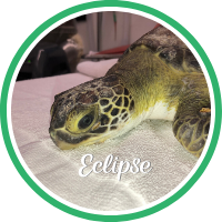 Open Eclipse's sea turtle patient profile.