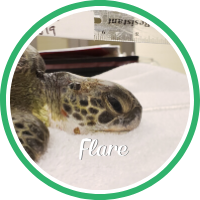 A green sea turtle laing on a treatment table.