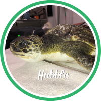 Open Hubble's sea turtle patient profile.